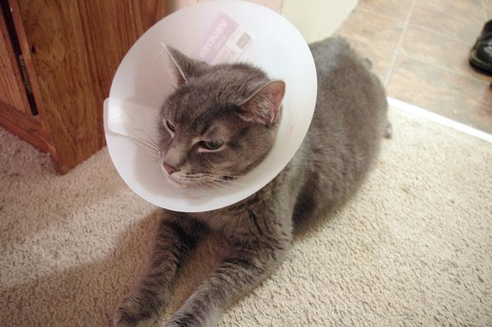 Khan wearing a cone